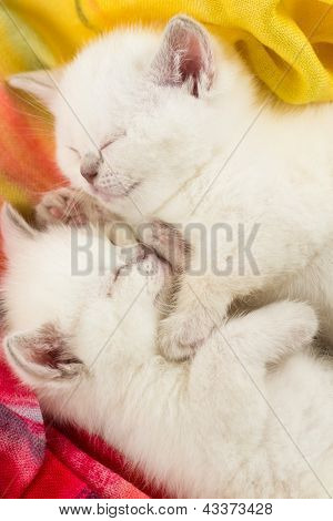 Two sleeping british baby kitten