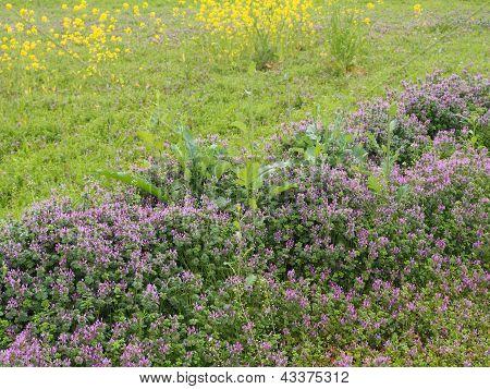 Flowers Of Henbit