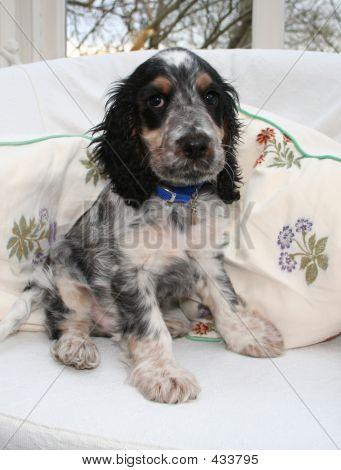 Ralph Spaniel Puppy