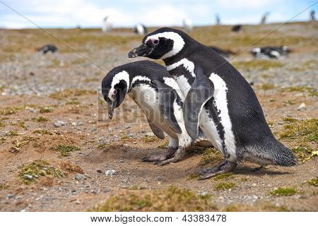 Two Penguins Looking For A Nest On Isla Magdalena Near Punta Arenas