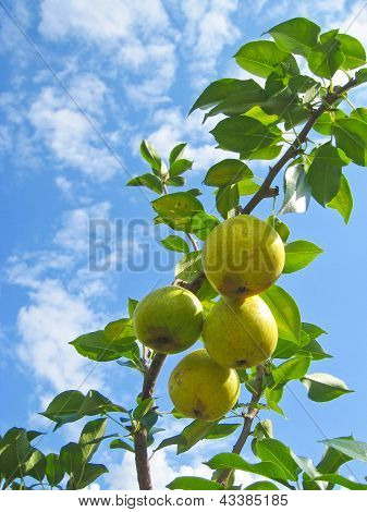 Pear Tree Against Blue Sky