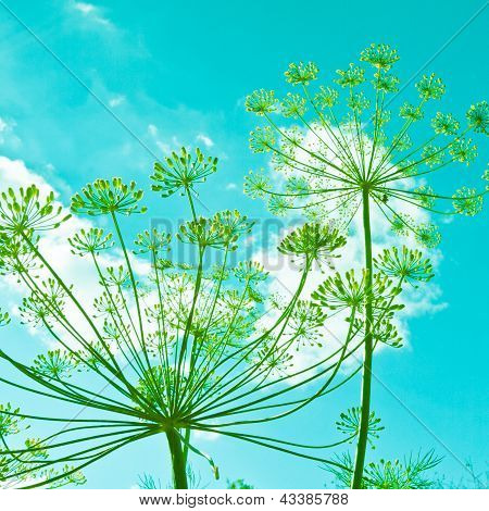 Dill Flower Umbels