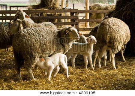 Schaf- und Lämmer