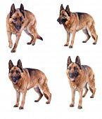 pic of german-sheperd  - portrait of german sheperd on white background - JPG