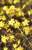 Yellow flowers of winter jasmine
