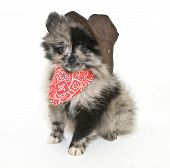 stock photo of baby cowboy  - Cute puppy wearing a cowboy outfit on a white background - JPG