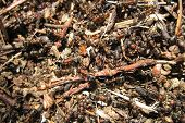stock photo of fire ant  - ant colony as very nice animal background - JPG