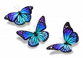 pic of flying-insect  - Three turquoise blue butterflies isolated on white background - JPG