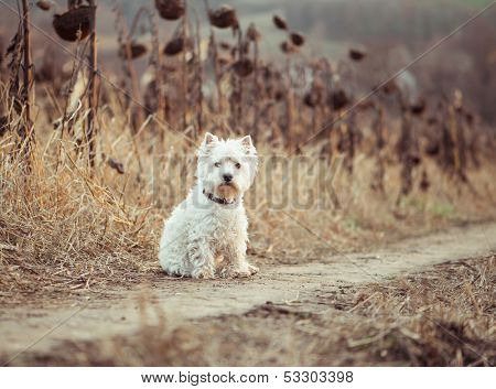 Small dog  walks in the autumn field