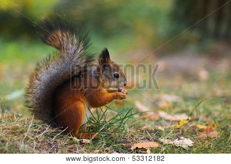 Cute squirrel on the lawn