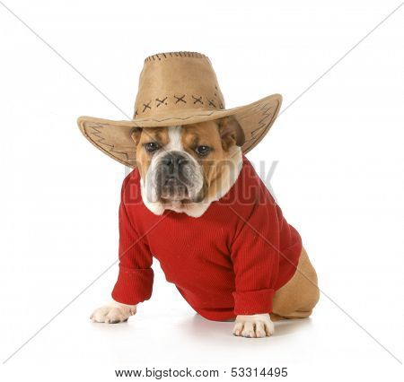 country dog - english bulldog wearing red shirt and western hat isolated on white background - 6 months old