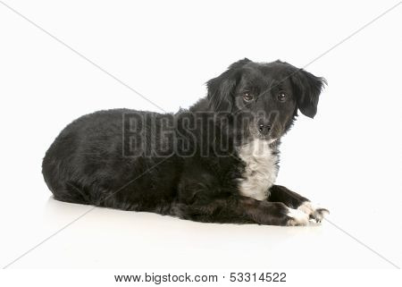 mixed breed dog laying down looking at viewer isolated on white background