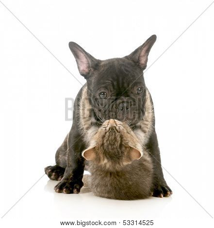 puppy love - kitten with arms wrapped around french bulldog puppy giving a hug isolated on white background