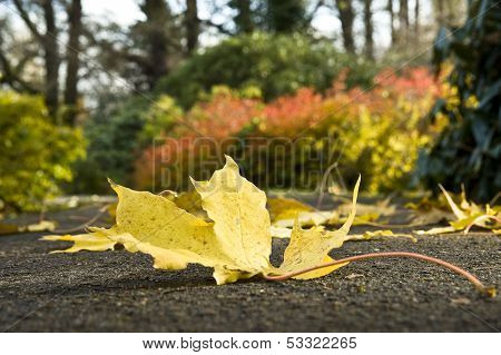 Beautiful, Yellow Leaf Of A Maple On The Earth.