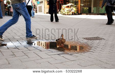 The Duck Costs In A Small Pool On A Pavement Near Numerous Passersby.