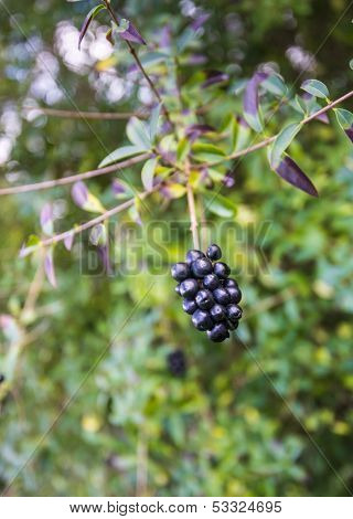 Dark Berries On A Twig
