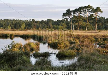 Wet Heath with Pine Trees