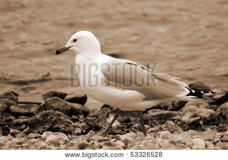 Herring Gull Walking on a Rocky Beach in Sepia