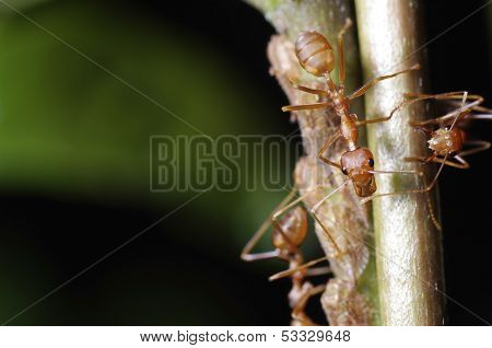 weaver ants and aphids