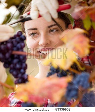 female vintner harvesting a bunch of grapes