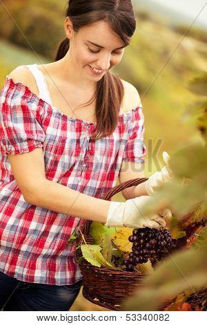 cheerful female vintner woman harvesting in a vineyard