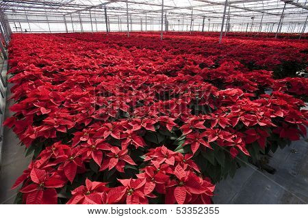 red poinsetta plants inside a greenhouse
