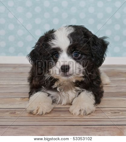 Little Black A White Puppy