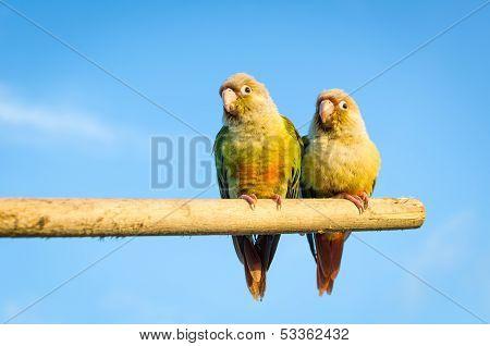 Squab Sun Conure Parrot