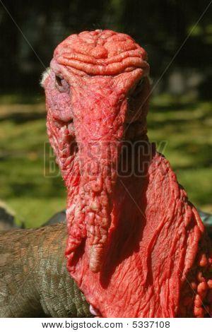 Turkey Face