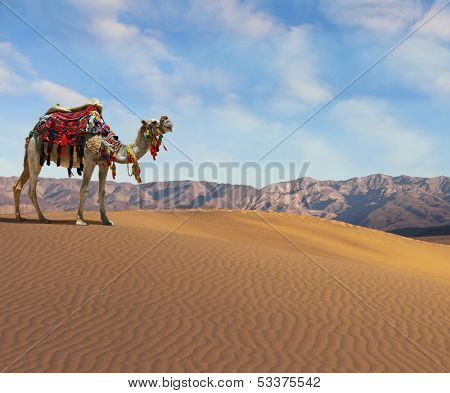 Gorgeous dromedary smiling on the sand dunes. Dromedary decorated with picturesque harness and bright red blanket