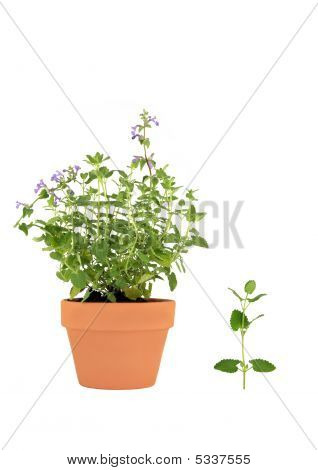 Catmint Herb