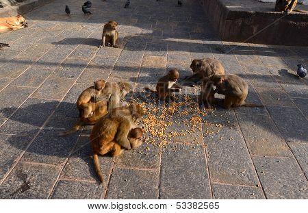 Rhesus macaque (Macaca mulatta) monkey eating corn in Swayambhunath, Nepal