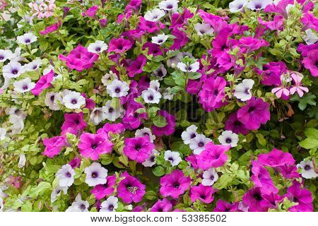 Petunia (Petunia grandiflora)
