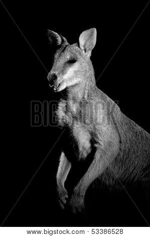 Monochrome portrait of an Agile Wallaby (Macropus agilis)