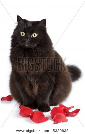Cute Black Cat Sitting In Rose Petals Isolated