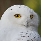 stock photo of snow owl  - portrait of a beautiful snow owl - JPG