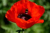 Bumblebee In Oriental Poppy