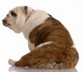 pic of derriere  - english bulldog sitting with backside to the camera - JPG