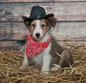 stock photo of sheltie  - Little Sheltie puppy dressed up in a cowboy outfit in a barn scene - JPG