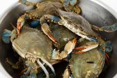 foto of blue crab  - Blue Crab close up shot for background - JPG
