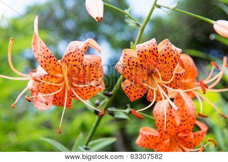 Tiger Lily, Lilium Lancifolium