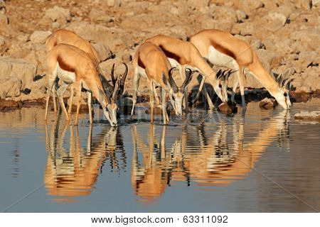 Springbok antelopes (Antidorcas marsupialis) drinking at a waterhole, Etosha National Park, Namibia