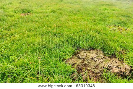 Cow Shit Dung In Grass Of Meadow