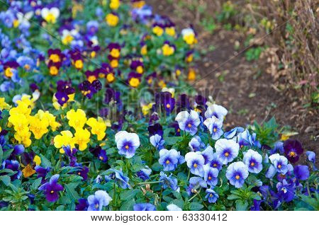 The Colorful Of Pansy On The Ground