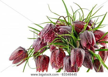 Fritillaria Meleagris Isolated