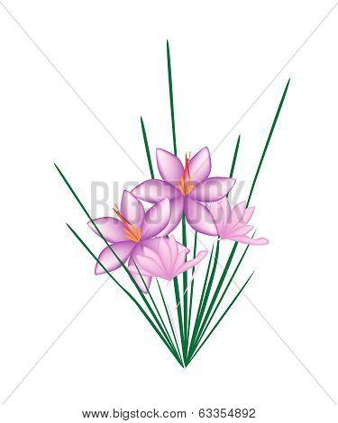 2Purple Crocus Sativus Flower On  White Background