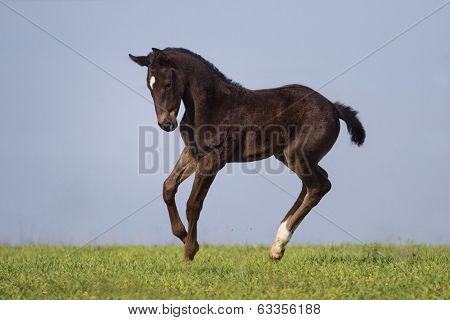 Black foal