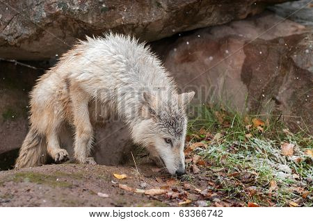 Blonde Wolf (Canis lupus) Clambers Out Of Den