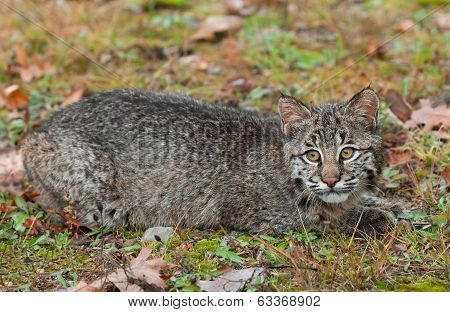 Bobcat Kitten (Lynx rufus) Lies In The Grass