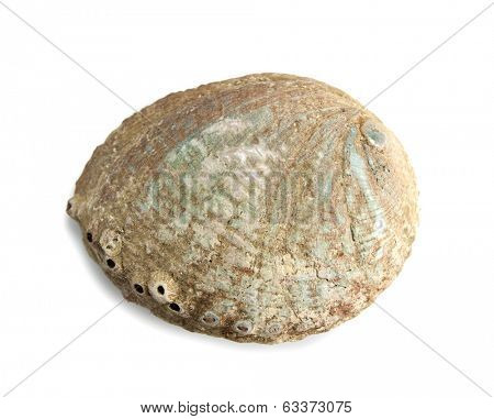 Well grown abalone pearl shell isolated on white.